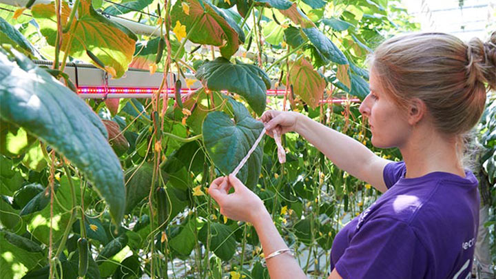 Harvesting the crops in the Glenwood Valley Farms greenhouse