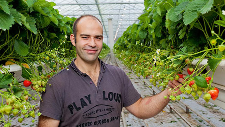 Alain Lutz shows off his strawberries, which use Philips greenhouse lighting to aid in their growth