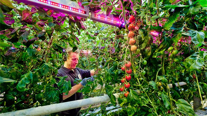 A staff member caring tomato leaves at Agro Care illuminated with greenhouse lighting products by Philips Lighting