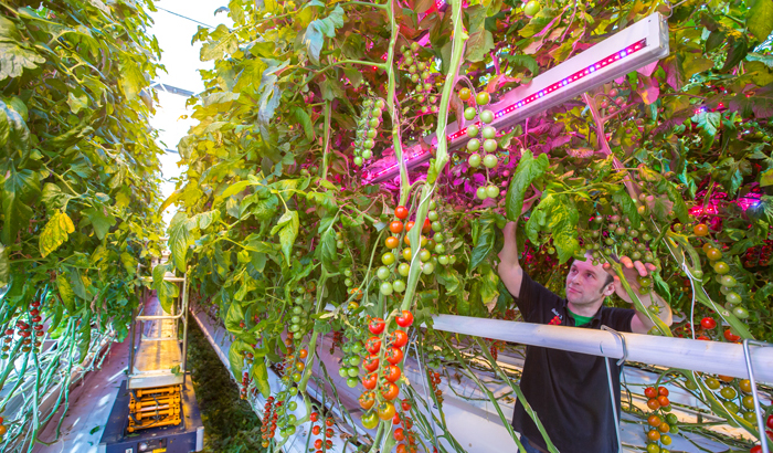 Growing vegetables with LED