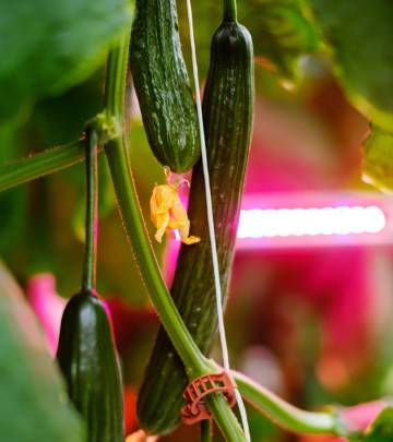 IMEA Cucumber and Philips GreenPower LED interlighting