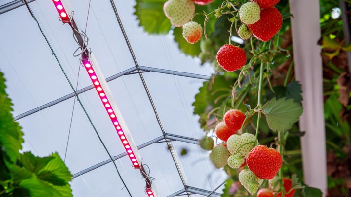 GreenPower LED toplighting and strawberries
