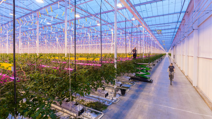 GreenPower LED toplighting in the greenhouse of Wim Peters