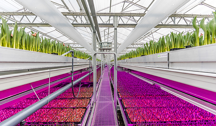 Philips Lighting enables Dutch tulip grower Karel Bolbloemen to optimize its crop with new tunable LED lighting
