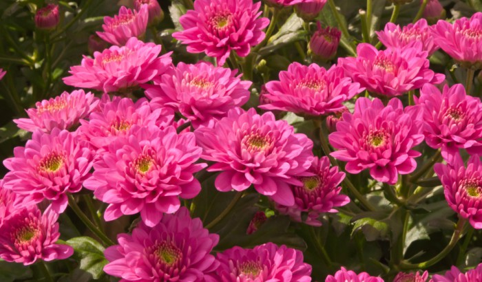 How LED grow lights deliver stunning chrysanthemums