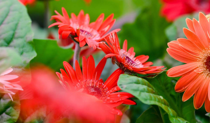 Latest results on benefits of growing gerberas with LEDs