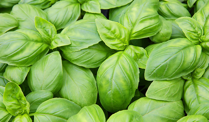 Effects of temperature on basil growth: some like it hot!