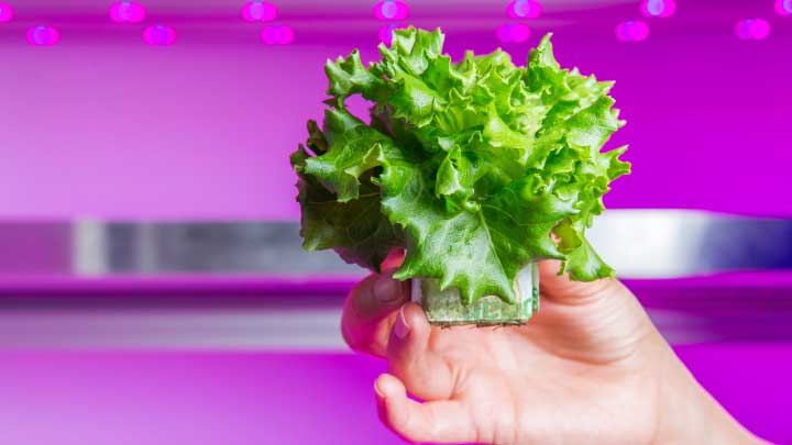 LED grow lights for lettuce – higher yields and compact heads