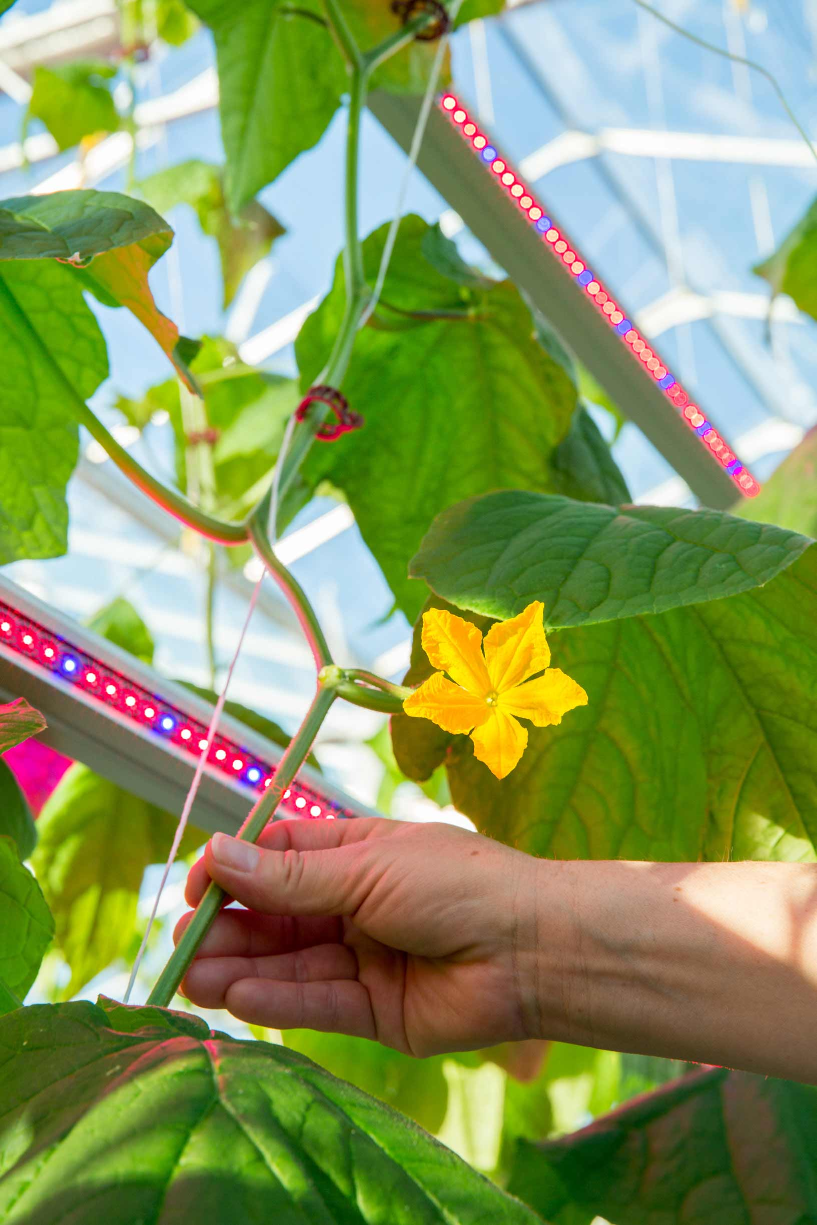 Philips Lighting announces first Russian LED cucumber project with Agrokultura Group and new partner Svetogor