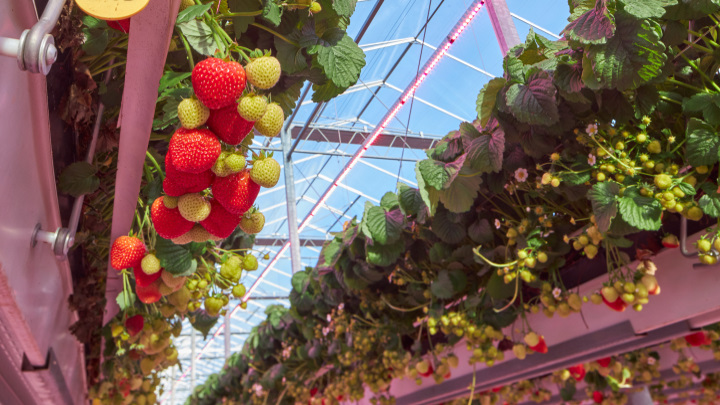 If you are growing fruits indoors, your crops will really shine with LED grow lights